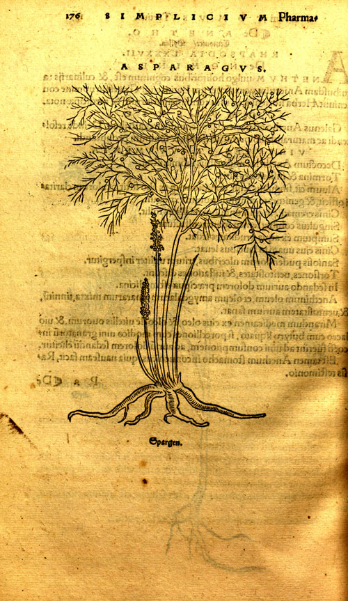 Brunfels(1530)-asparagus.jpg