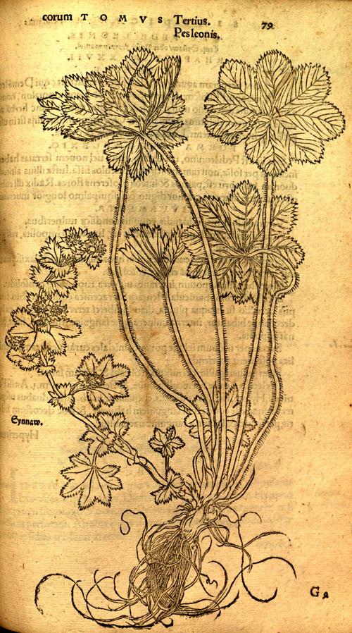 Brunfels(1530)-ladysmantle.jpg