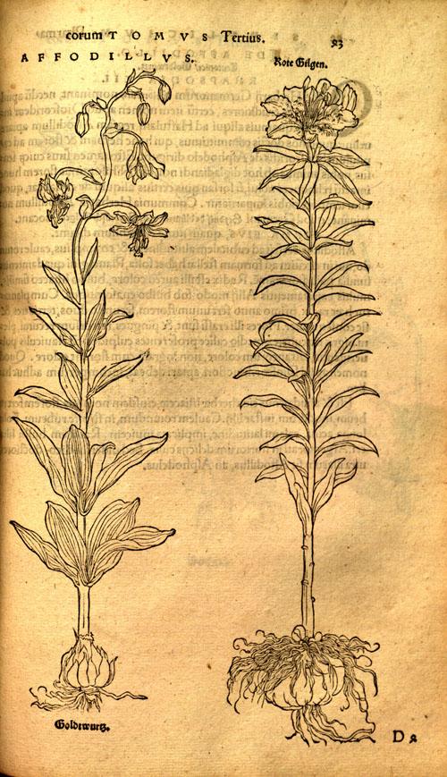Brunfels(1530)-lily.jpg