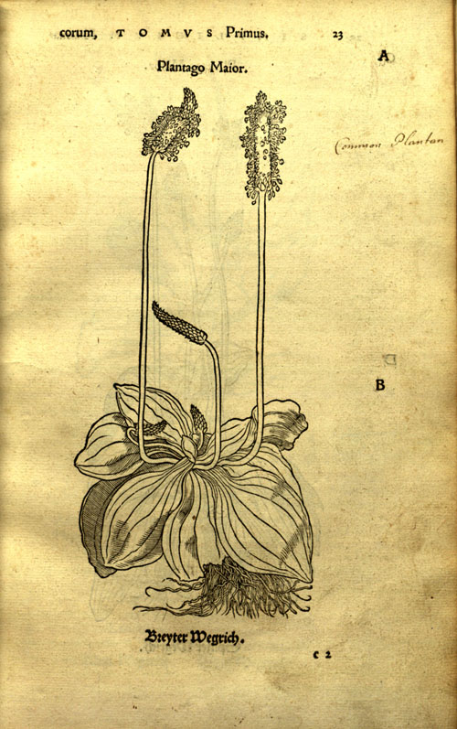 Brunfels(1530)-plantain.jpg