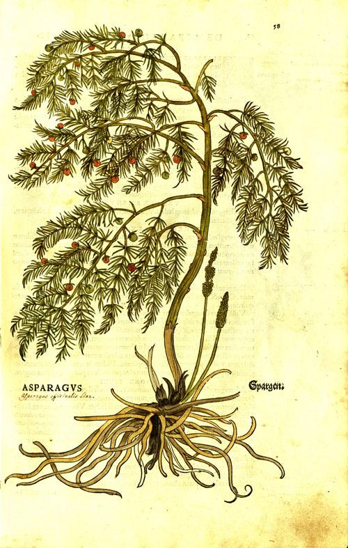 Fuchs2-asparagus.jpg