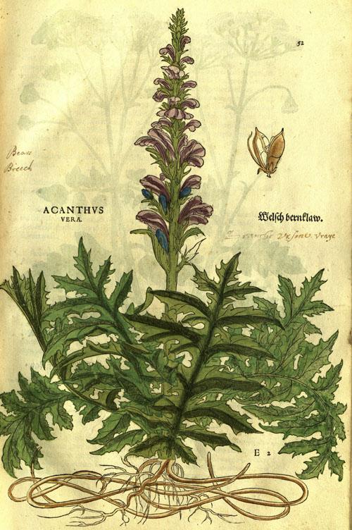 FuchsAHL-acanthus.jpg