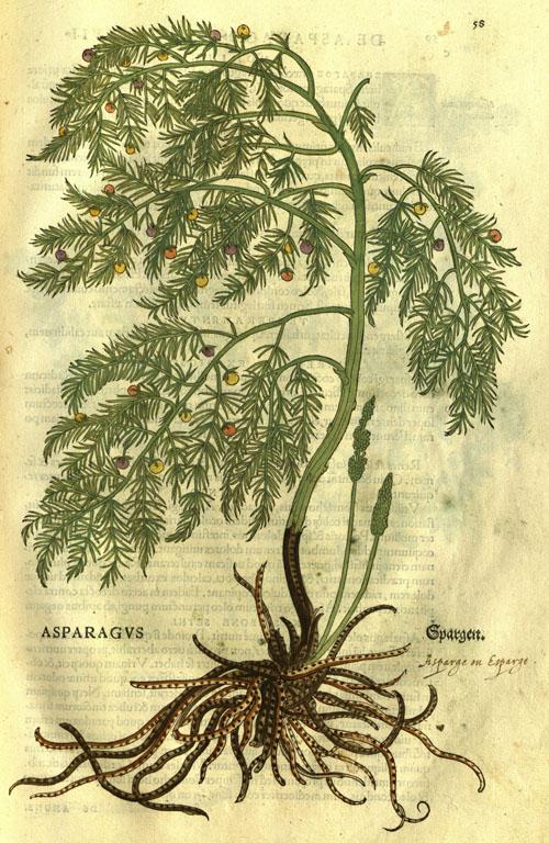 FuchsAHL-asparagus1.jpg