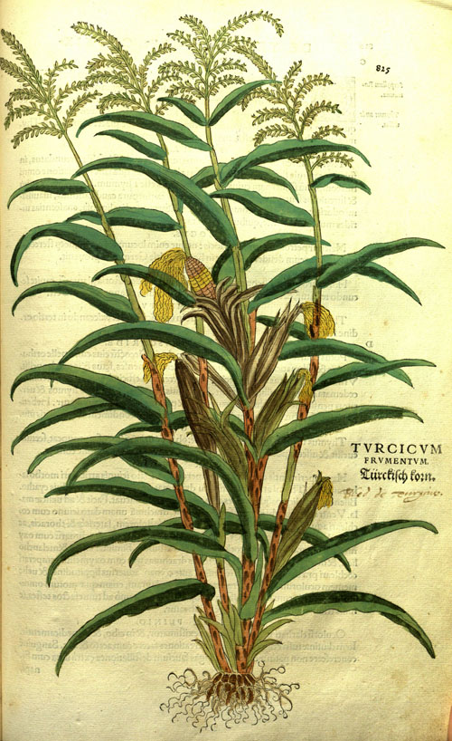 FuchsAHL-corn.jpg