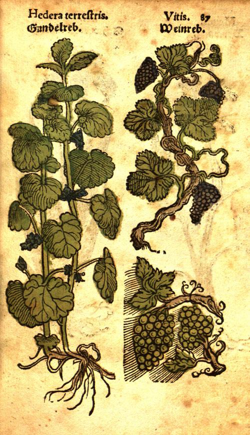 Lonitzer-grapes.jpg