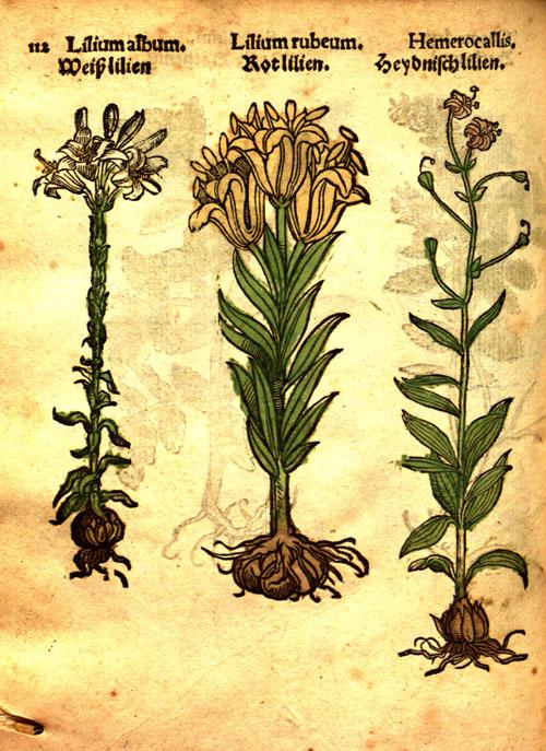 Lonitzer-lily.jpg