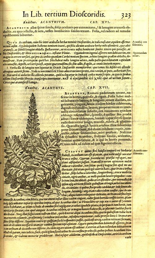 MattiliW-acanthus.jpg