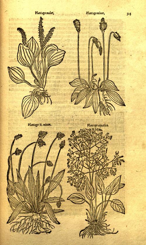 Turner-plantain.jpg